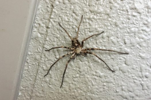 ゴキブリの最大の天敵!アシダカクモの特徴